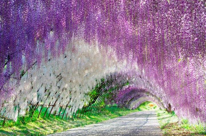 JARDÍN KAWACHI FUJI: un túnel de flores enJapón