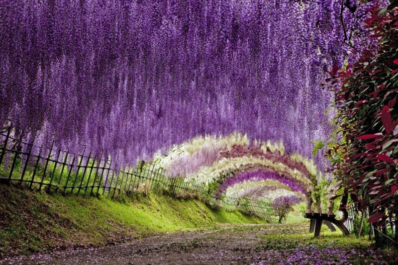 JARDÍN KAWACHI FUJI: un túnel de flores en Japón (1/6)