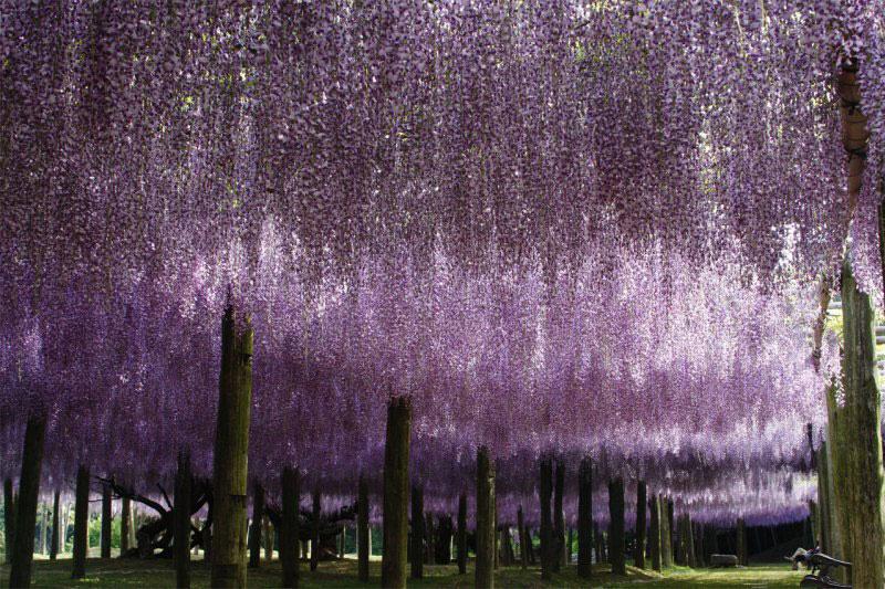 JARDÍN KAWACHI FUJI: un túnel de flores en Japón (2/6)