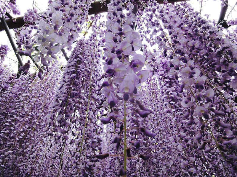 JARDÍN KAWACHI FUJI: un túnel de flores en Japón (3/6)