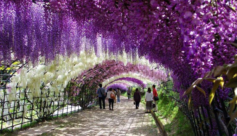 JARDÍN KAWACHI FUJI: un túnel de flores en Japón (5/6)