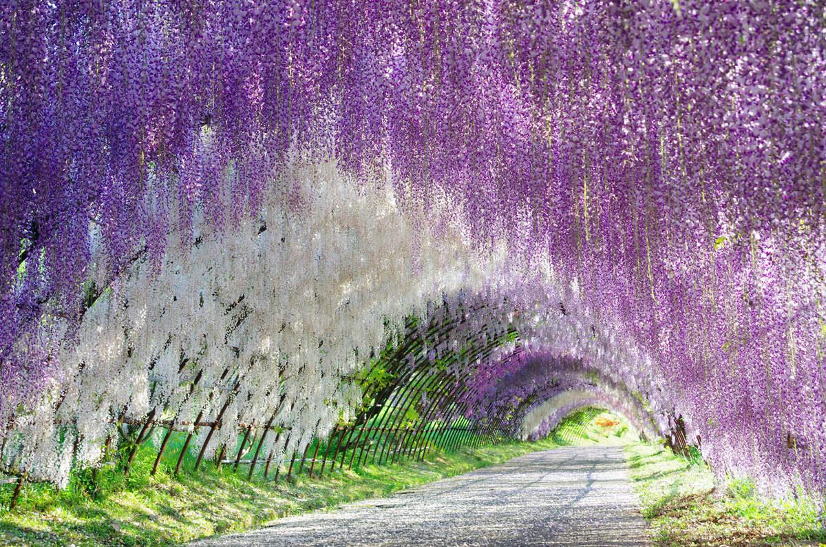 jard n kawachi fuji un t nel de flores en jap n la
